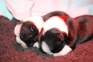 vľavo:pes, vpravo:sučka